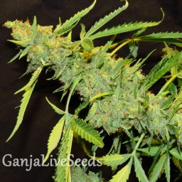 Auto Northern Lights x White Widow feminised Ganja Seeds
