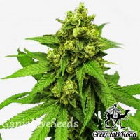 Northern Lights feminised Green Silk Road Seeds