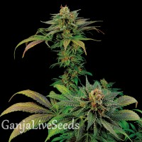 White Widow x Somango feminised Ganja Seeds