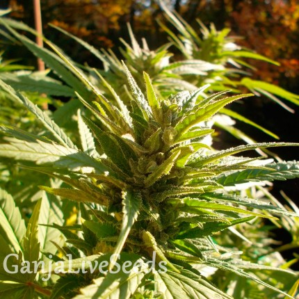 Cheese feminised Ganja Seeds