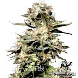 Somango feminised Green Silk Road Seeds