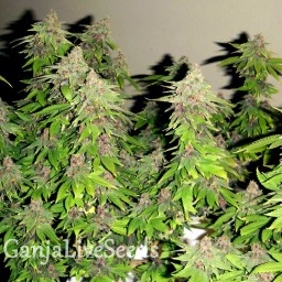 Chill OM feminised Ganja Seeds