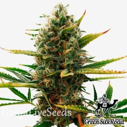 Super Skunk feminised Green Silk Road Seeds