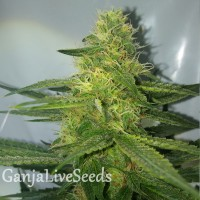 AK 47 feminised Ganja Seeds