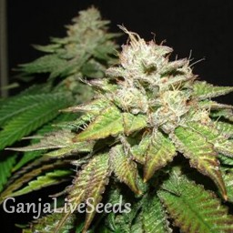 Deep Sleep feminised Ganja Seeds