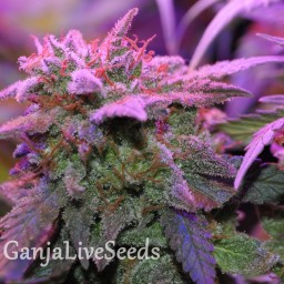 Critical Sensi Star feminised Ganja Seeds