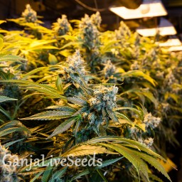 Big Bud feminised Ganja Live Seeds