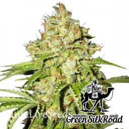 White Russian feminised Green Silk Road Seeds