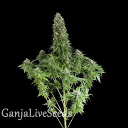 White Siberian feminised Ganja Seeds