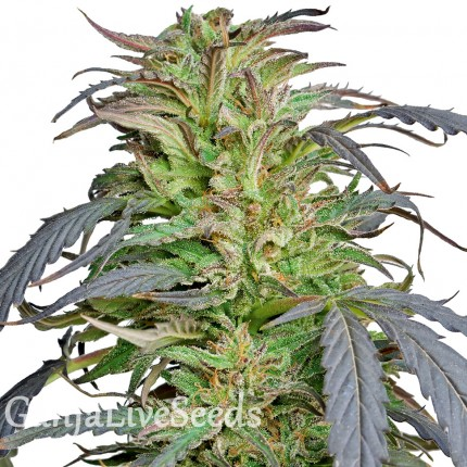 Critical Super Silver Haze feminised Ganja Seeds