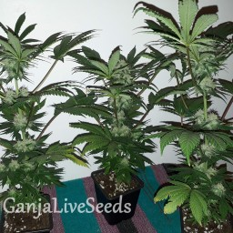 Black Domina feminised Ganja Live Seeds