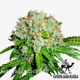 White Widow feminised Green Silk Road Seeds
