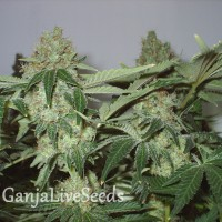 White Widow feminised Ganja Seeds