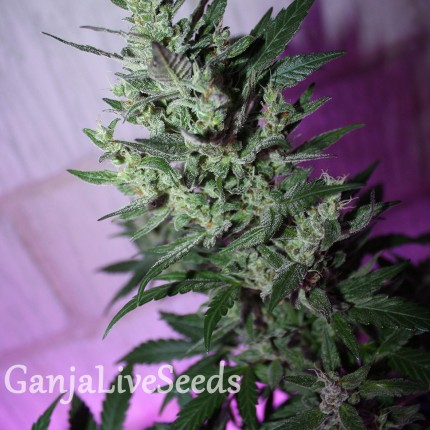 MI5 feminised Ganja Seeds