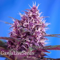 Blueberry feminised Ganja Live Seeds