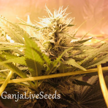 Bubble Gum feminised GanjaLiveSeeds