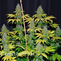 Bubble Gum feminised Ganja Live Seeds