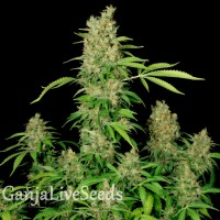 Chronic feminised GanjaLiveSeeds