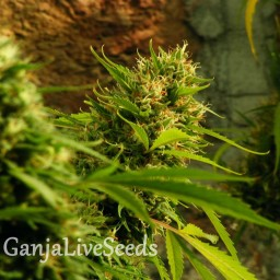 Jack Herer feminised Ganja Seeds