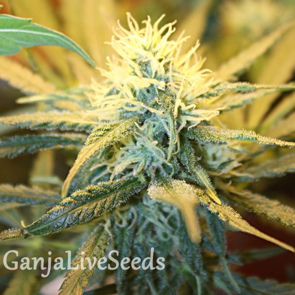 1024 feminised Ganja Seeds