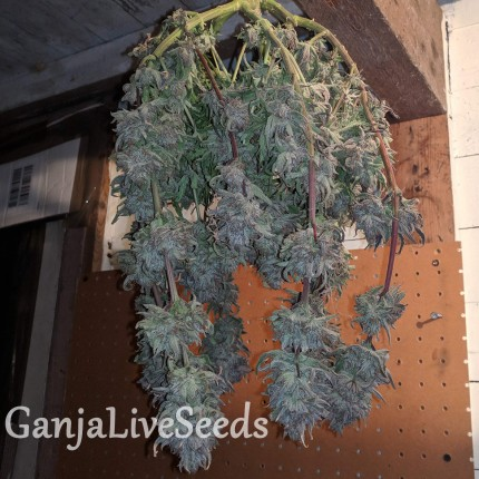 Auto Fruit feminised Ganja Seeds