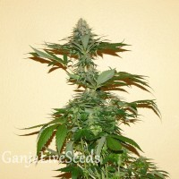 Auto Nirvana Sky feminised Ganja Seeds
