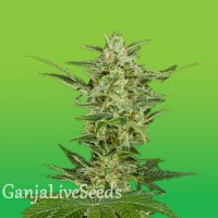 Critical Jack feminised Ganja Live Seeds