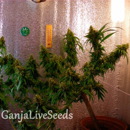 Critical Jack feminised GanjaLiveSeeds