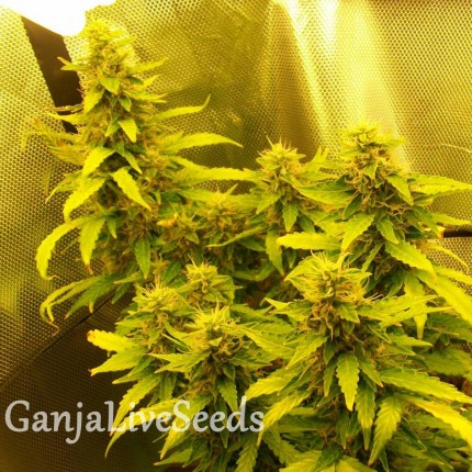 Auto Great White regular Ganja Seeds