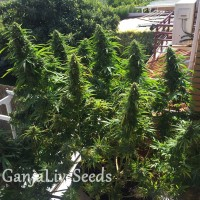 Blueberry feminised Ganja Seeds