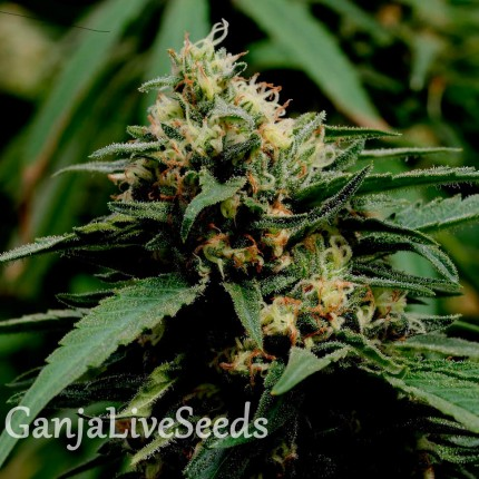 Critical Mass feminised GanjaLiveSeeds