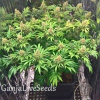 Early Skunk feminised Ganja Live Seeds