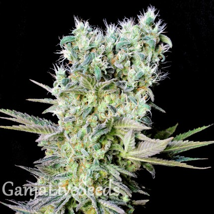 Northern Lights feminised Ganja Seeds