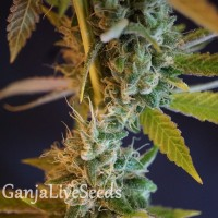 Shiva Skunk feminised Ganja Seeds