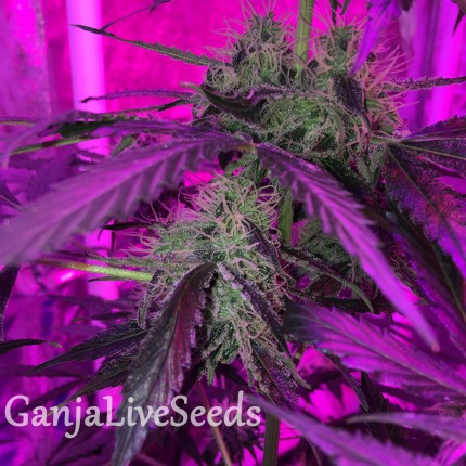 Auto Blue Mystic regular Ganja Seeds