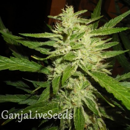 Super Lemon Haze feminised Ganja Seeds