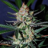 Auto Black Chere feminised Carpathians Seeds