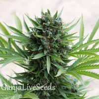 Grapefruit Diesel feminised GanjaLiveSeeds