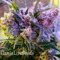 Galaxy feminised Ganja Seeds