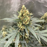 Auto Critical feminised Victory Seeds