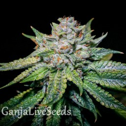 Train Wreck feminised Ganja Seeds