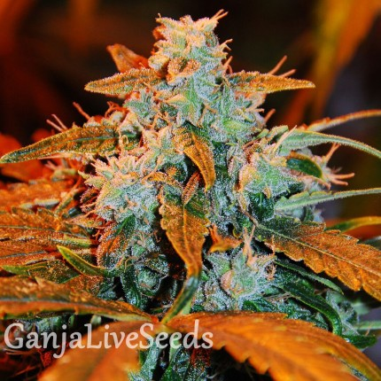 G-13 feminised Ganja Seeds