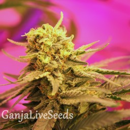 Auto Black Tisa feminised Carpathians Seeds