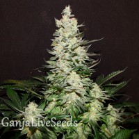 Lemon Skunk feminised GanjaLiveSeeds
