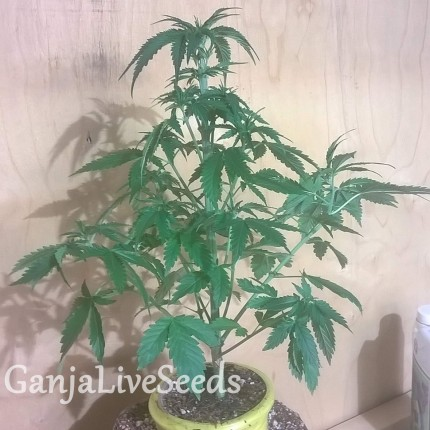 Auto Bubblelicious regular Ganja Seeds