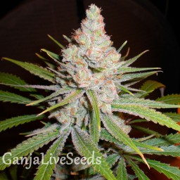 White Skunk #1 feminised Ganja Seeds