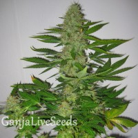LSD feminised Ganja Live Seeds