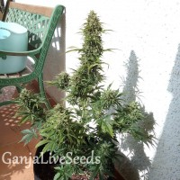 Auto Heaven feminised Victory Seeds