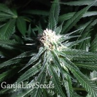 Critical + feminised Ganja Seeds