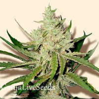 Amnesia Haze feminised Ganja Seeds